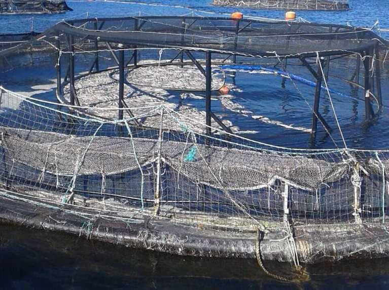 Jaula con salmones muertos por bloom de algas / Marzo de 2016