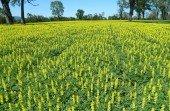 Cultivos de lupino amarillo o Lupinus luteus, que es una de las especies vegetales utilizadas en la formulación de dietas para peces (Foto de contexto. Fuente: Conicyt)