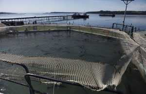 Cultivo de salmón