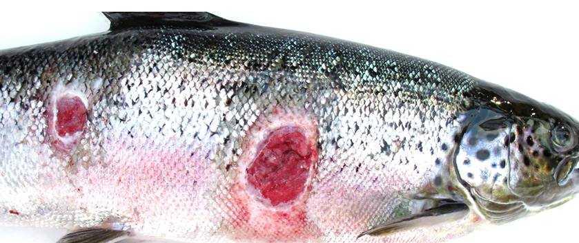 Lesiones por SRS en salmón de cultivo (Foto gentileza: Centro INCAR)