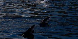 Optimizan dosis de florfenicol frente al SRS salmón Atlántico (referencial)