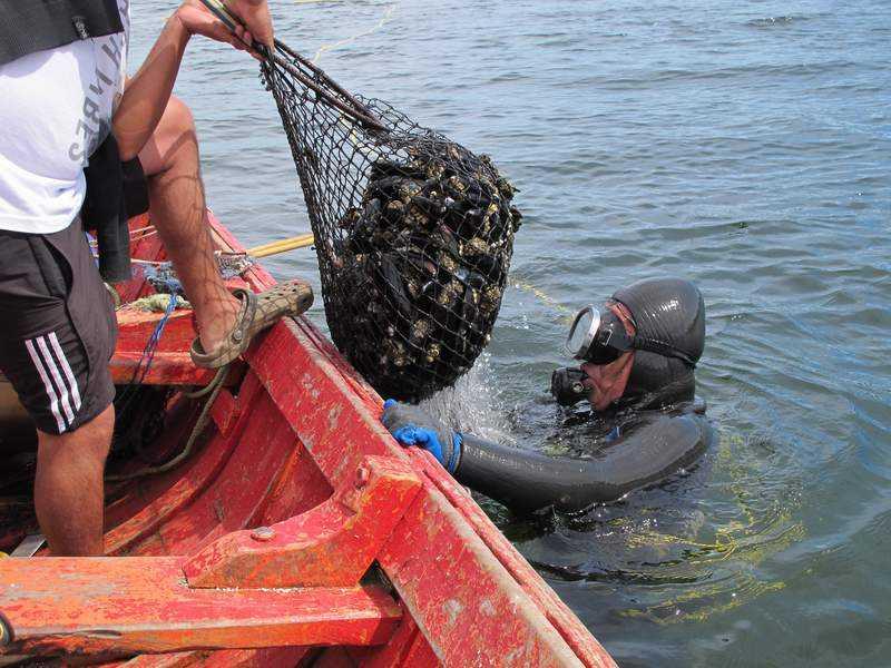 Prohíben extraer locos en toda la costa de la región de Los Ríos