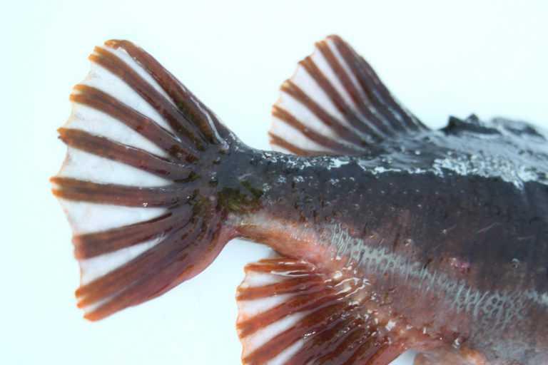 [EN-ES] Con peces limpiadores: Modelan un sistema para controlar el piojo del salmón