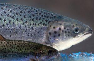 AquaBounty comienza a producir su salmón transgénico en Indiana