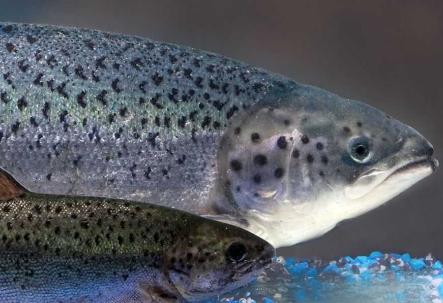 Canadá aprueba la producción del salmón transgénico (foto: AquaBounty)