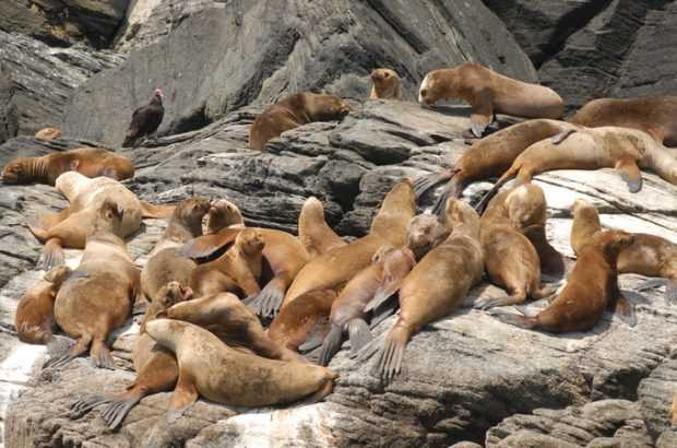 Censo para contabilizar lobos marinos en Chile está en pleno desarrollo