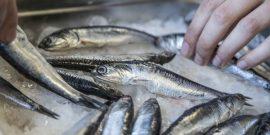 Crean recetas con recurso marino más capturado después del salmón (en la foto: anchoveta)