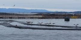 Estiman el riesgo y los factores de protección para la Piscirickettsiosis en la salmonicultura chilena (foto de contexto)