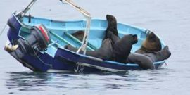 Pruebas preliminares: Subpesca asegura que ultrasonido ahuyenta a lobos marinos