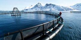 Cermaq confirma mortalidades por algas nocivas en Noruega (referencial)
