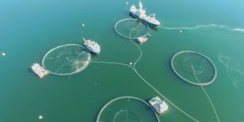 Algas nocivas: Menor cosecha en el norte de Noruega eleva los precios del salmón