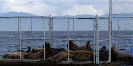[+VIDEO] Detallan ideas ganadoras para enfrentar problemática del lobo marino (foto Subpesca)