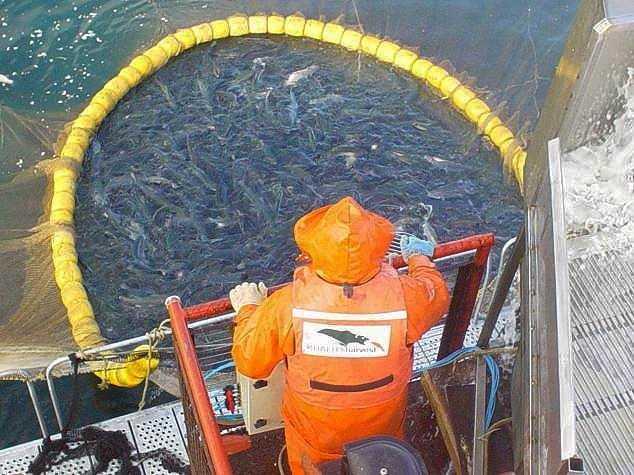 Estudian bacterias presentes en la poscosecha de salmón (foto de contexto)