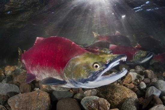 El cambio climático altera el ciclo vital de los salmones rojos del Pacífico (foto: Art.com)