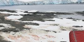 Chilenos comparan por primera vez las algas de nieve en diferentes sectores de la Antártica