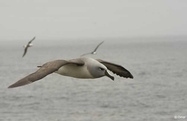 Albatros cabeza gris (Foto: Omar Barroso)