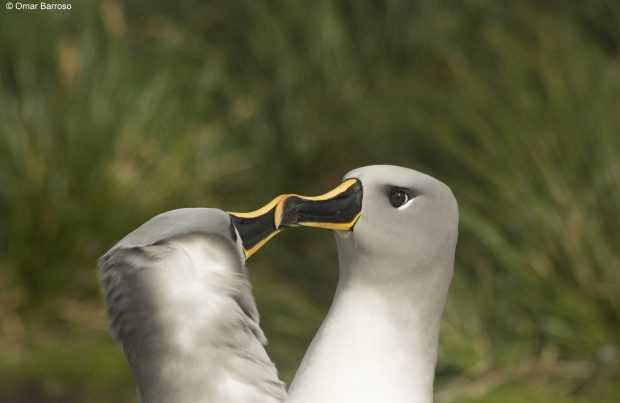 Pareja albatros cabeza gris (Foto: Omar Barroso)