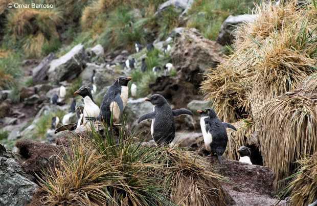 Pingüinos penacho amarillo (Foto: Omar Barroso)