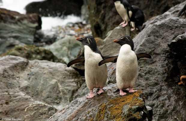 Pingüinos penacho amarillo en Diego Ramirez (Foto: Omar Barroso)