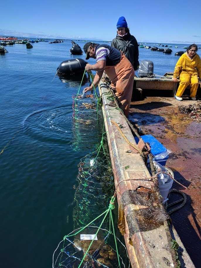 Buscan fortalecer el cultivo de la ostra chilena1