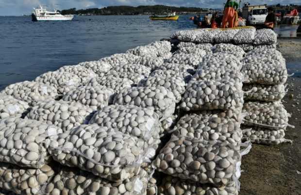 [+FOTOS] En Chiloé: Decomisan más de 20 toneladas de almejas con marea roja
