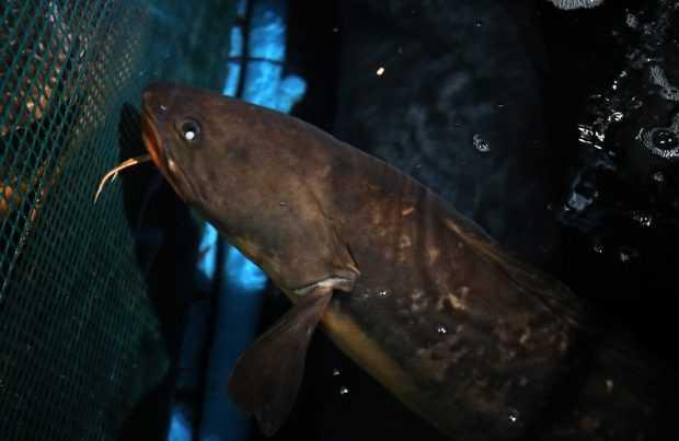 El congrio colorado cerrará ciclo de charlas online de acuicultura con peces nativos