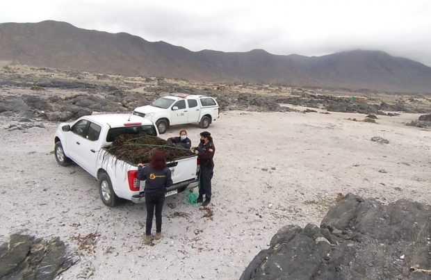 En Chañaral: Incautan casi media tonelada de huiro barreteado