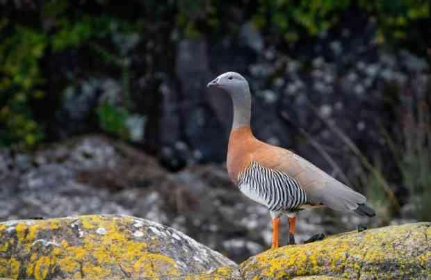 Ave, monitoreo a área marina de Aysén, fauna, Patagonia, sur de Chile, naturaleza (foto UACh)