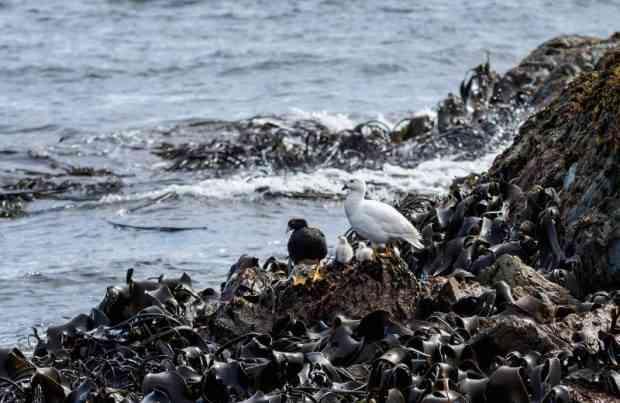 Aves, algas_monitoreo a área marina de Aysén, fauna, Patagonia, sur de Chile, naturaleza (foto UACh)