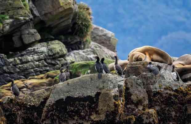 Aves, lobos, ecosistema, biodiversidad, monitoreo a área marina de Aysén, fauna, Patagonia, sur de Chile, naturaleza (foto UACh)